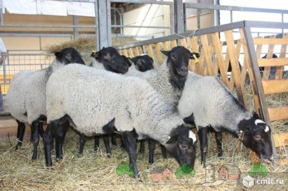 Бараны, овцы, ягнята Романовской породы