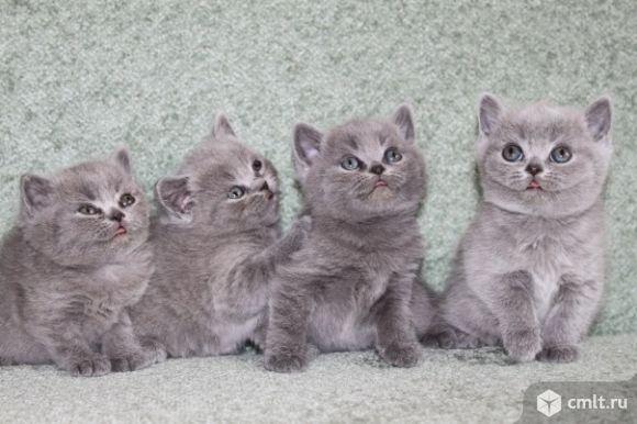 Голубые британские котятки. Фото 1.