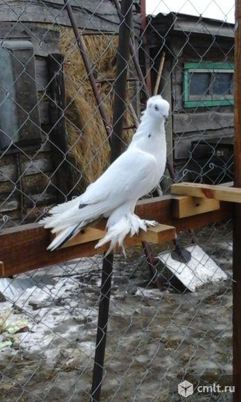 Таджикские бойные голуби. Фото 1.