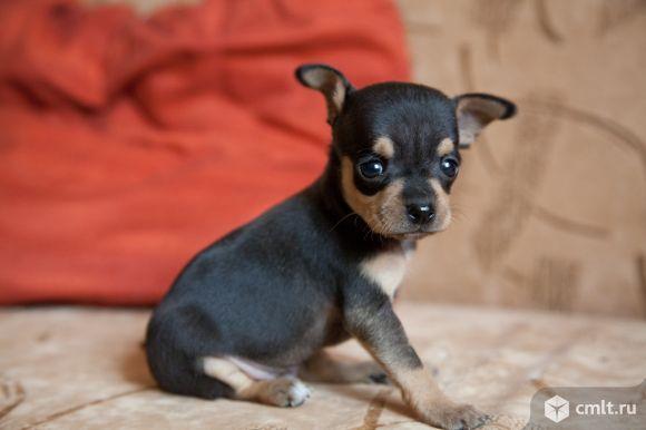 Той терьер -крошечная собачка. Фото 8.