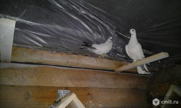 Таджикские бойные голуби. Фото 3.