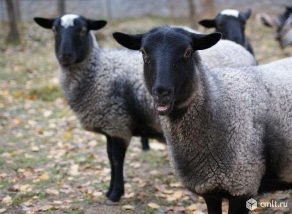 Продаются овцы романовской породы