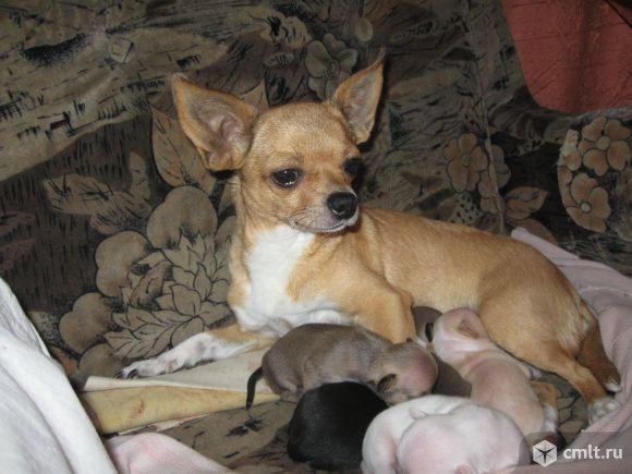 мамочка Феня (2.6 кг.)с детками