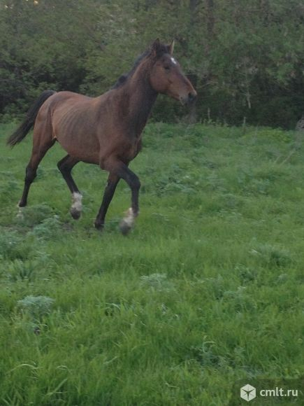 Конь на вязку