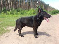 ОвчаркаЧёрный бельгиец, активный, умный, есть желающие на щенков.
