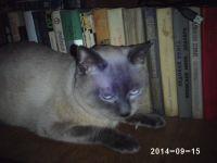 кот по кличке кузя сиамского окраса