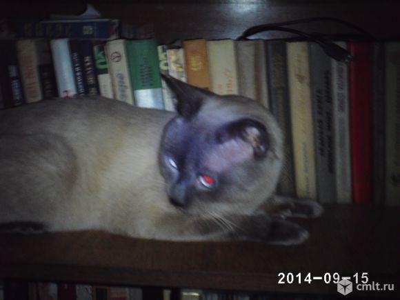 кот сиамской породы пепельно серого окраса