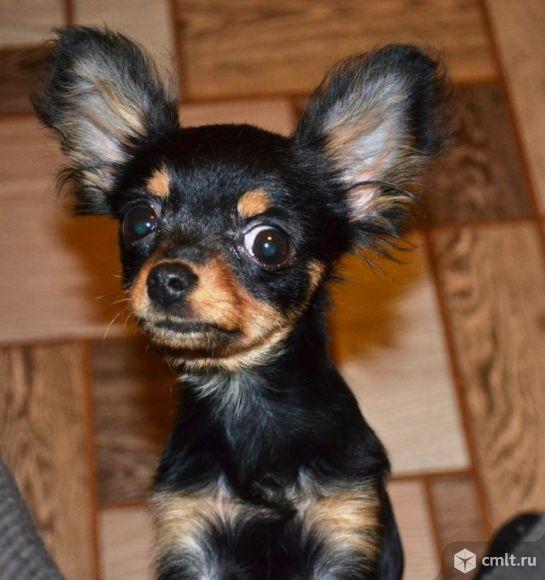 Вязка.Супер-мини мальчик чихуахуа. Фото 1.
