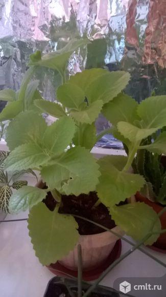 Плектрантус Plectranthus  iplantsru