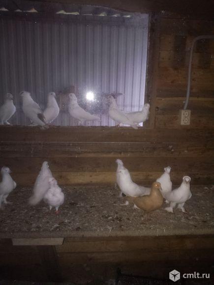 Продам белых банчатых голубей. Фото 2.