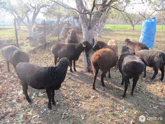 Продам котных Эдильбаевских овец и баранов