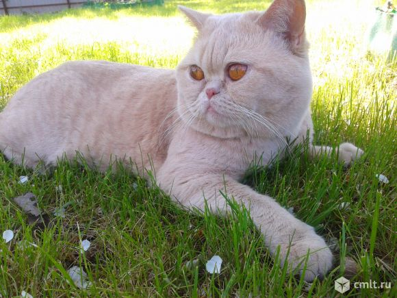 Британского кремового кота для вязки предлагаю