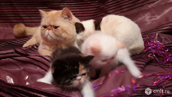 знакомства для кошки перс экзот новочеркасск