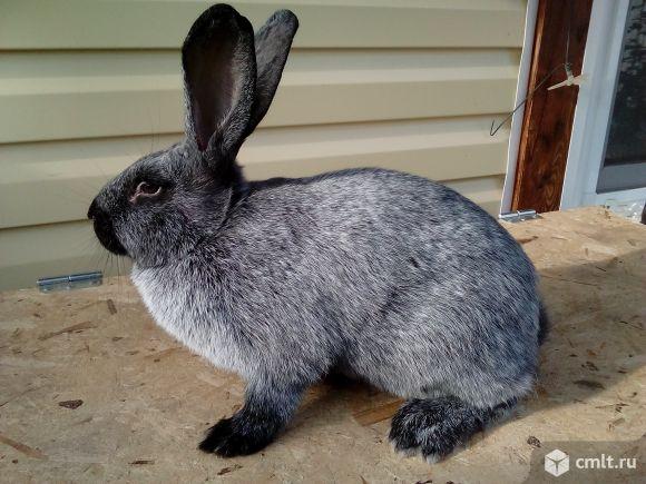 Серебристые кролики (полтавское серебро). Фото 1.