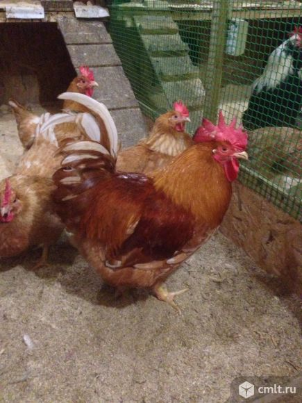 Инкубационное яйцо кур мини мясной палевой и белой, Мехеленская кукушка, Барбезье, Бресс галльская.. Фото 1.