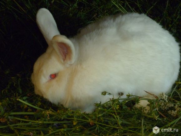 Кролики на племя. Фото 1.