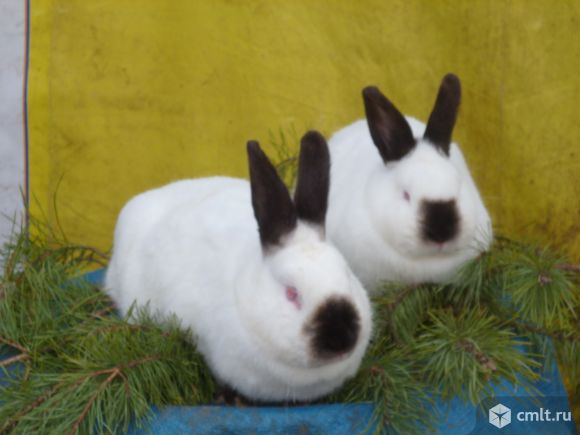 Кролики на племя. Фото 8.
