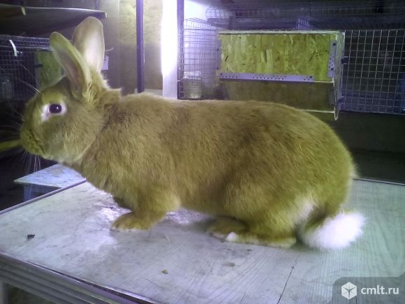 Породистые кролики300. Фото 1.