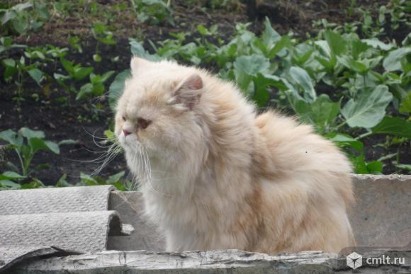 Персидский кот ( камео) для вязки. Фото 1.