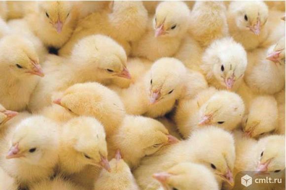 Бройлеры, привиты, мясные цыплята. Фото 1.