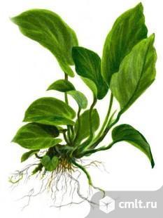 Аквариумные растения. Фото 1.