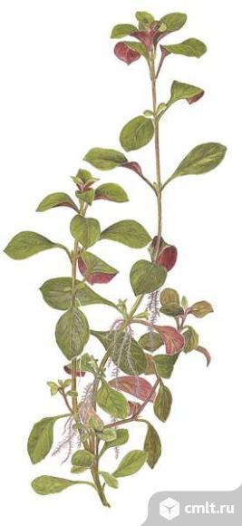 Аквариумные растения. Фото 4.