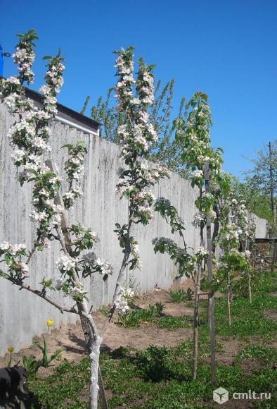 Сад из карликовых яблонь и груш