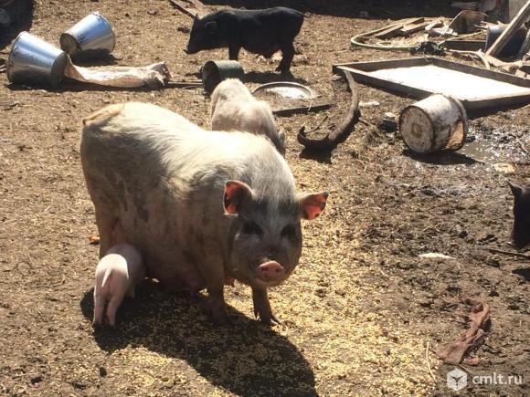 Вьетнамские  свиноматки и поросята. Фото 1.