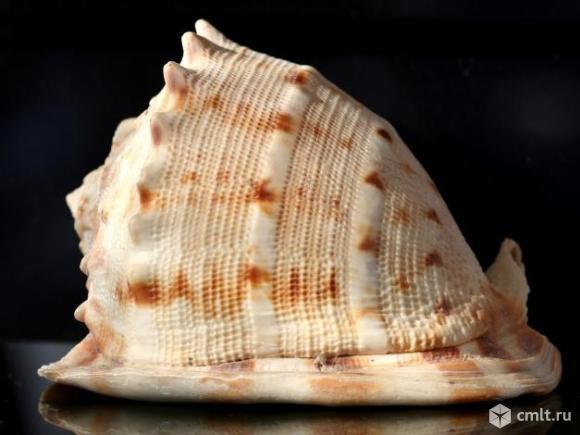 Ракушка морская большая. Фото 1.