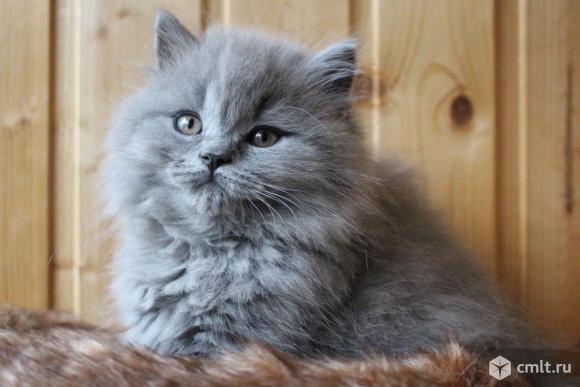 Британская длинношерстная кошка (Хайлендер). Фото 2.