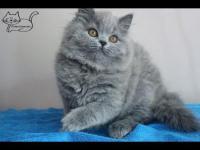 пушистый котенок британский длинношерстный