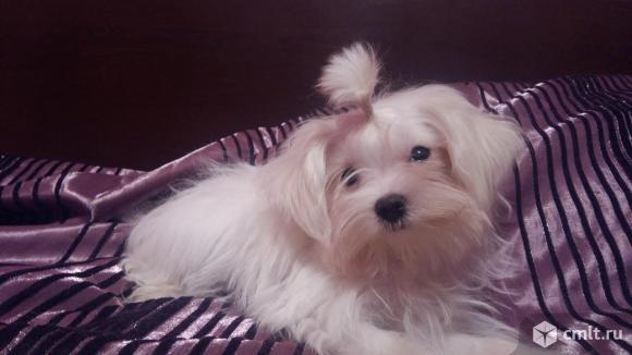 Мальтезе (мальтийская болонка) белоснежные щеночки. Фото 3.