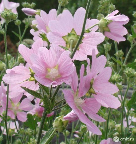 Лаватера – многолетний садовый цветок. Куст состоит из 10-15 стеблей высотой 1,5 м, сплошь покрытых с июля до сентября крупными розовыми цветками диаметром до 5 см.