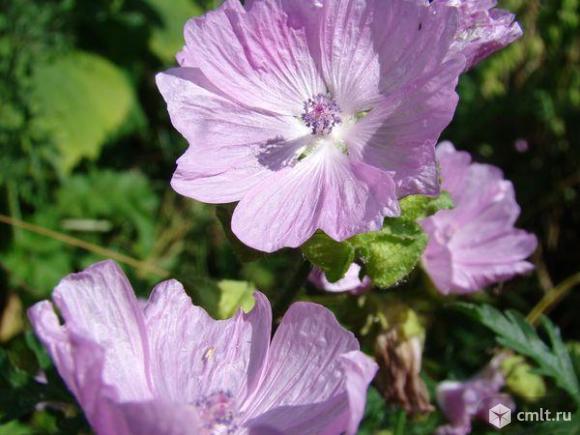 Мальва и другие редкие садовые цветы. Семена. Фото 1.