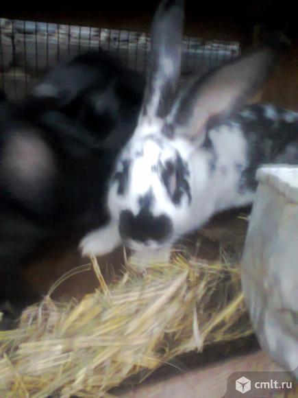 Кролики самки и крольчата калифорния. Фото 1.