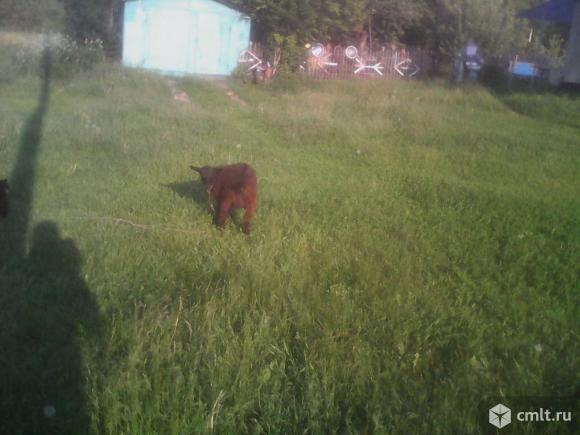 Козлик и козочка, рождены 7.01.2017 г., недорого