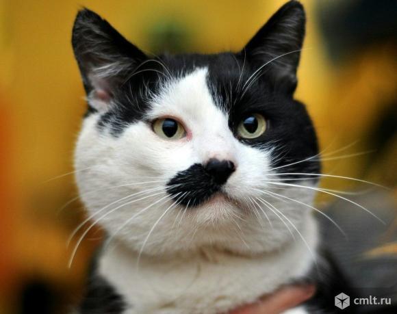Необычный кот по имени Бритый Пек. Фото 1.