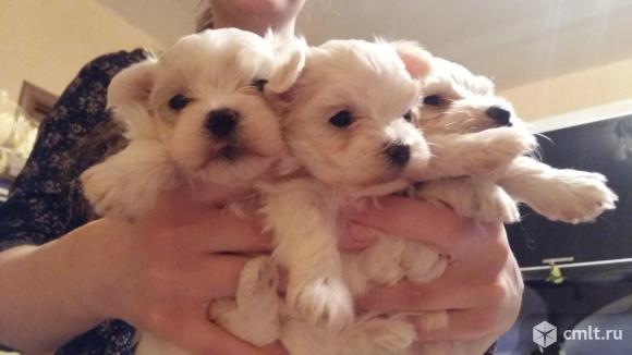 Мальтезе (мальтийская болонка) белоснежные щеночки. Фото 1.