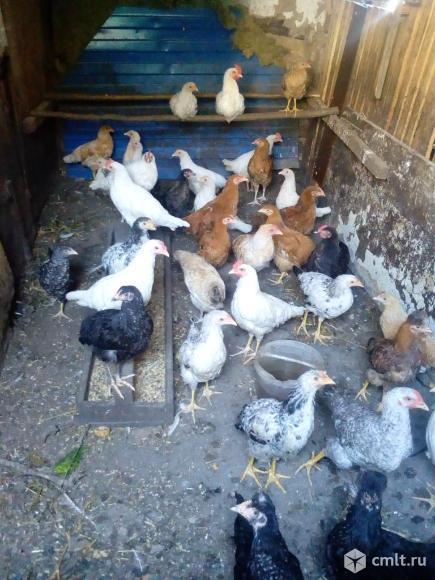 Цыплята курочки петушки