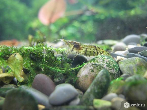 Креветки и раки аквариумные. Фото 7.