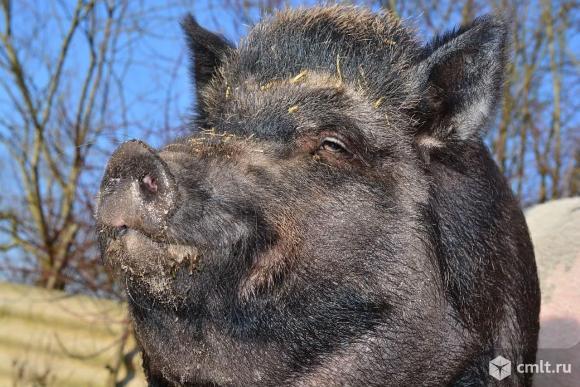 Кабан-хряк двух годовалый,производитель ,вес около 300 кг.