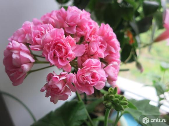Пеларгония розебудная. Фото 1.