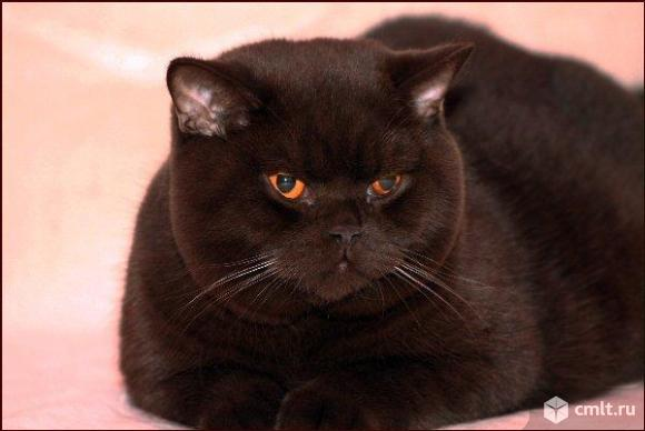 Шотландские шоколадные и серые котята