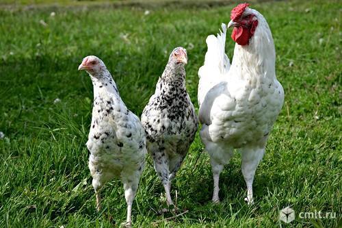 Продам цыплят Пушкинской породы кур