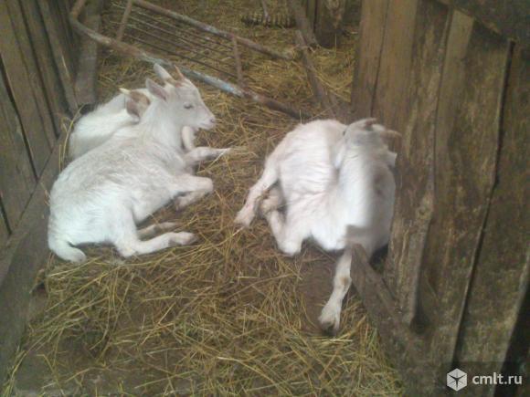 Молоденькие козлята