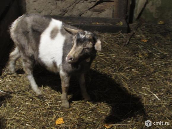 Чешско-зааненский козел