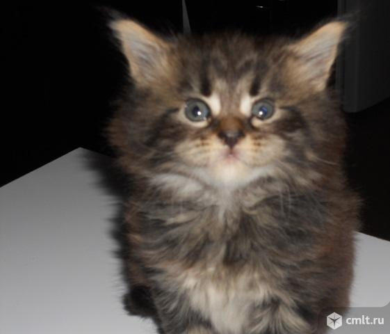 Котенок мейн кун. Фото 1.