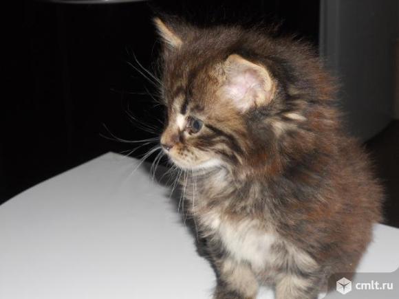Котенок мейн кун. Фото 7.