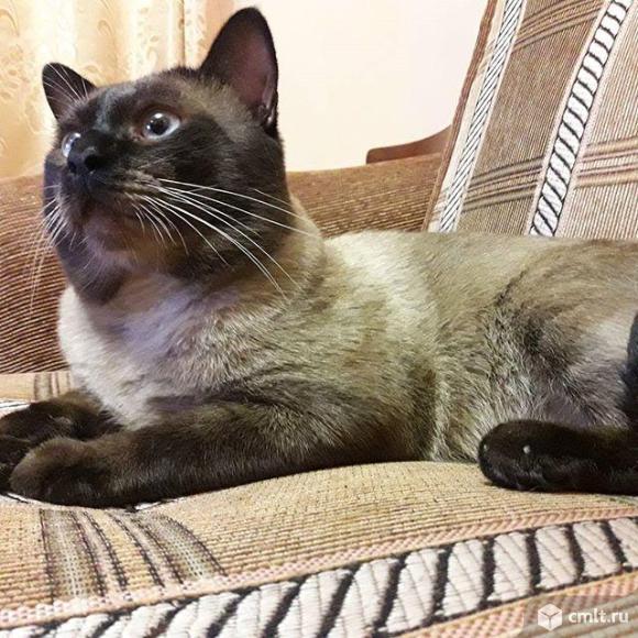 Тайский кот для вязки