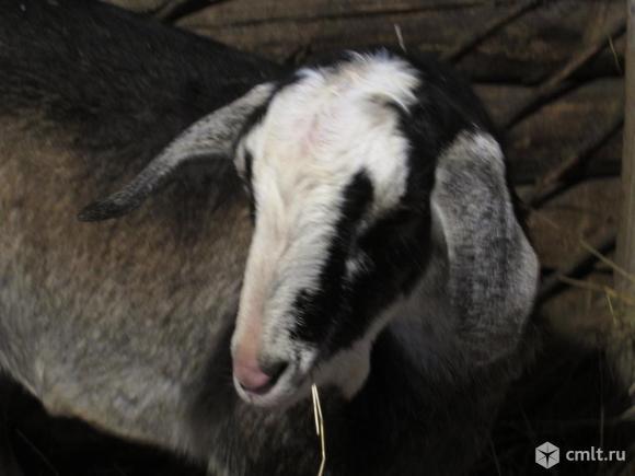 Покроем вашу козу нубийским козлом